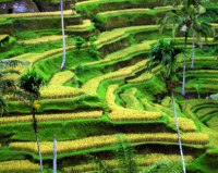 Tegalalang-Rice-Terrace-3